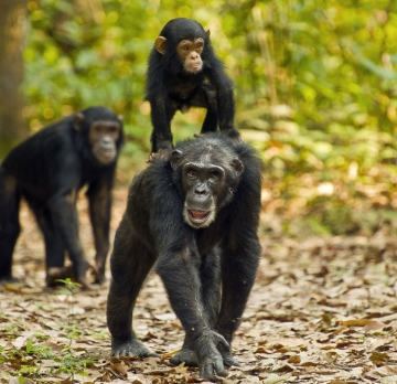 3 Days Chimpanzee Trekking - Kibale National Park