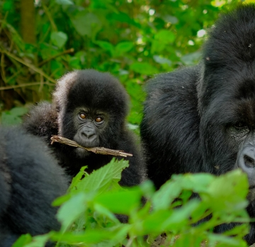 12 Days Chimpanzee and Gorilla Tracking Tour - Murchison falls,Queen Elizabeth,Lake Mburo,Lake Bunyonyi and Bwindi Impenetrable National Park