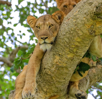 2 Days 1 Night Queen Elizabeth National Park Safari Tour